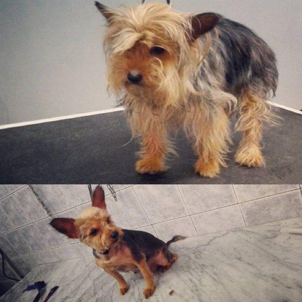 cane di piccola taglia prima e dopo la toelettatura