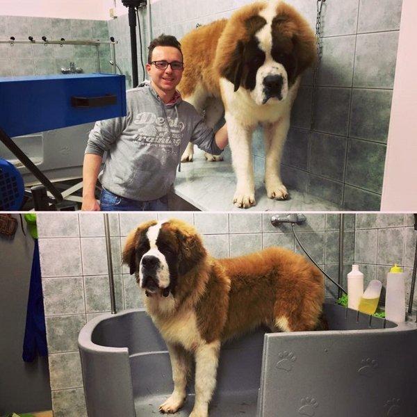 prima e dopo toelettatura cane razza San Bernardo