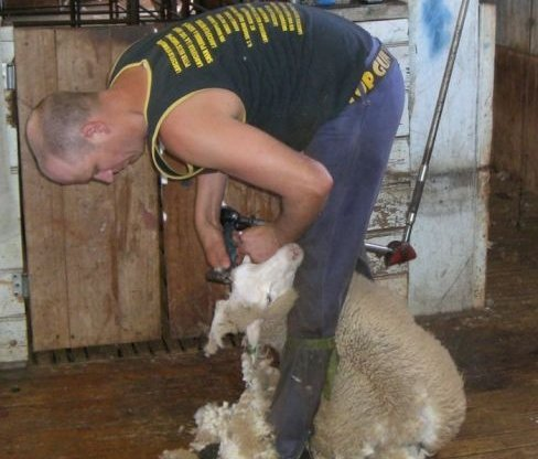 Roket Sheep Shearing