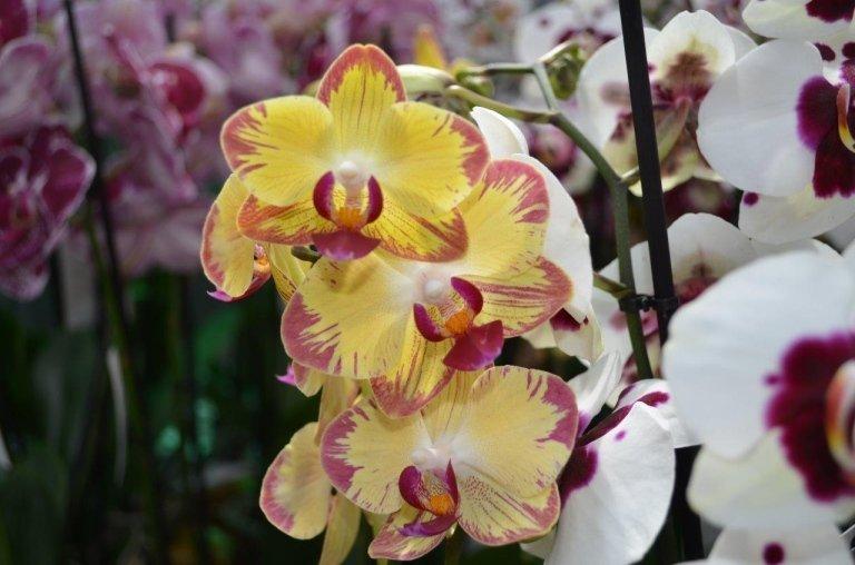 orchidee colori novità
