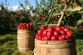 Apples picked in Door County