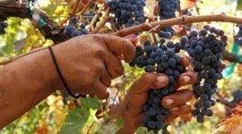 assistenza vigne