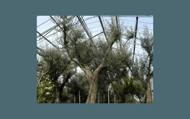 alberi di grandi dimensioni