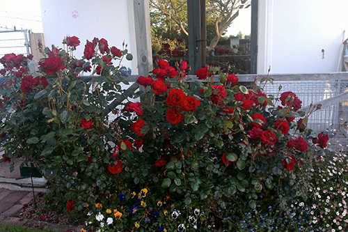 View of red rose bushes