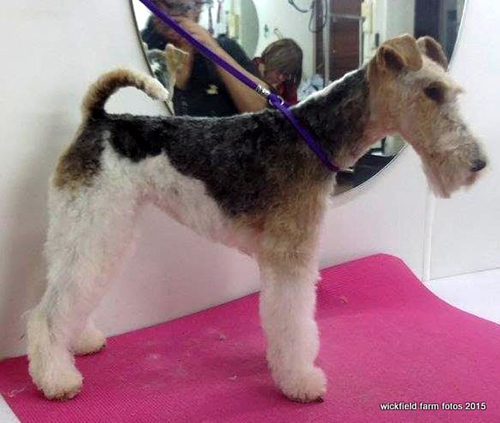 View of a groomed dog