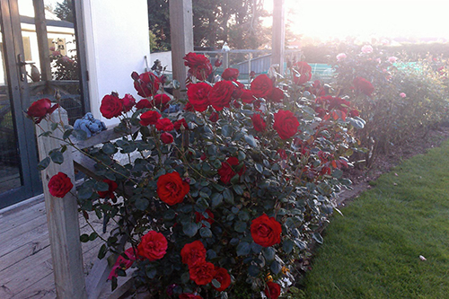 Red roses bushes