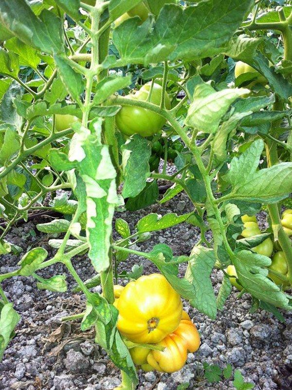 Pomodoro della Tenuta il Fienile a Momperone