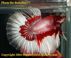 Quality betta fish