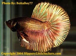 Quality betta fish supplier in Kingsford