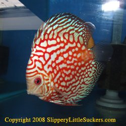 Discus fish with bright colors