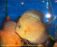 Discus fish with bright colors and patterns
