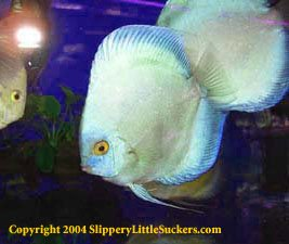 Beautiful discus fish