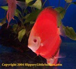 Beautiful goldfish suppliers