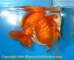 Impressive show goldfish