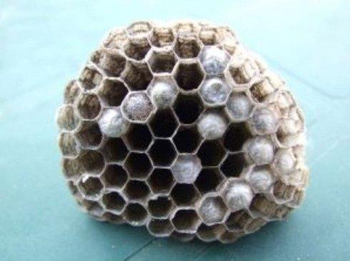 eliminazione nidi di vespa