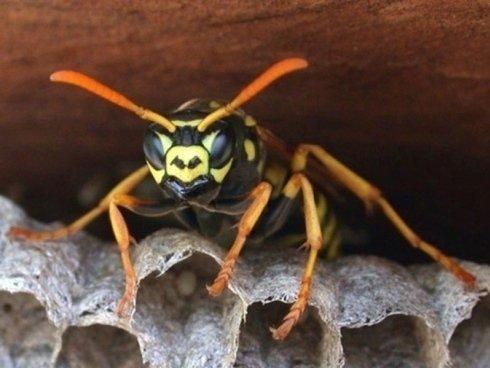 disinfestazione vespe e calabroni