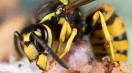 disinfestazione di vespe