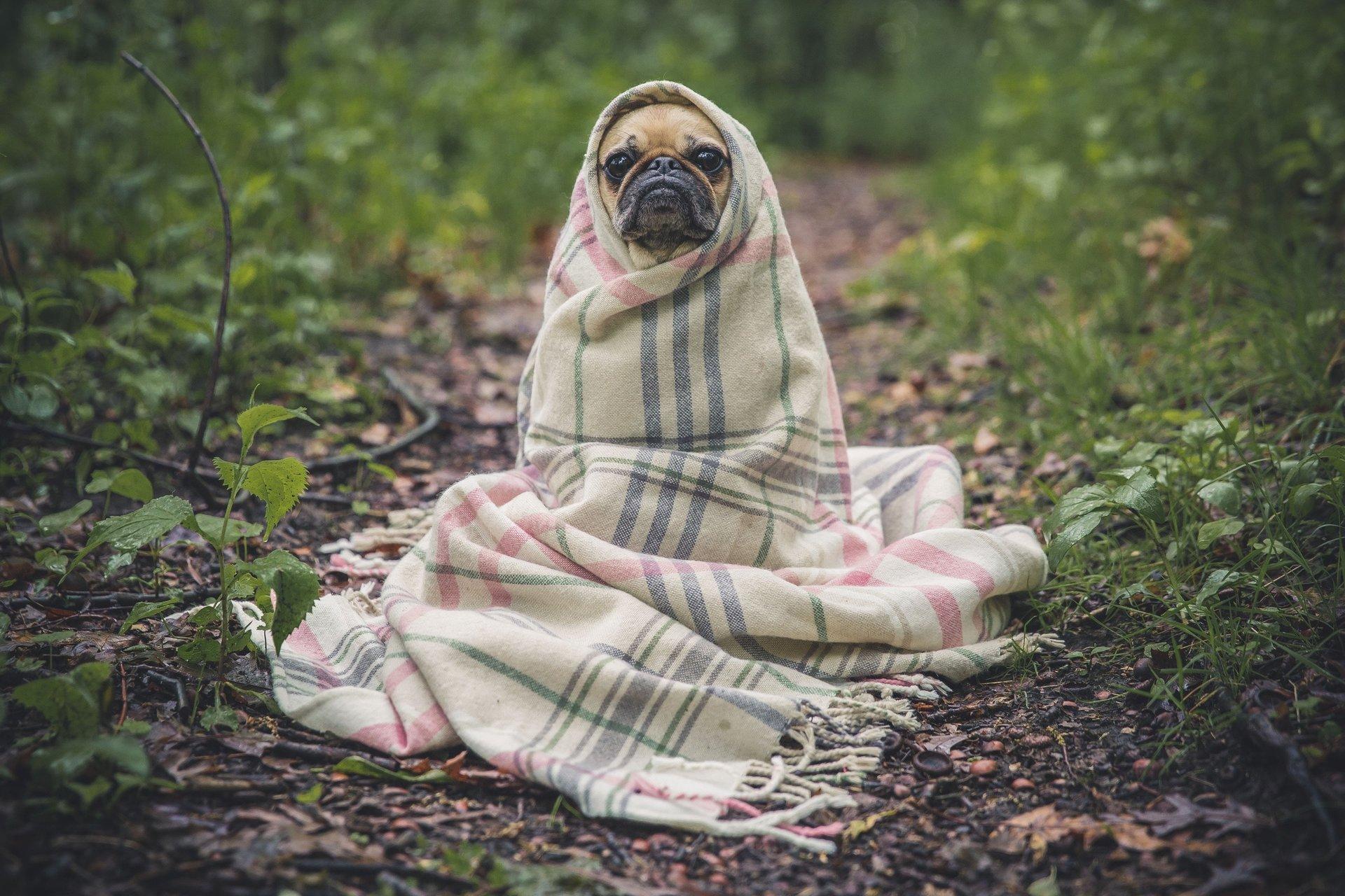 Puggerino in a Blanket