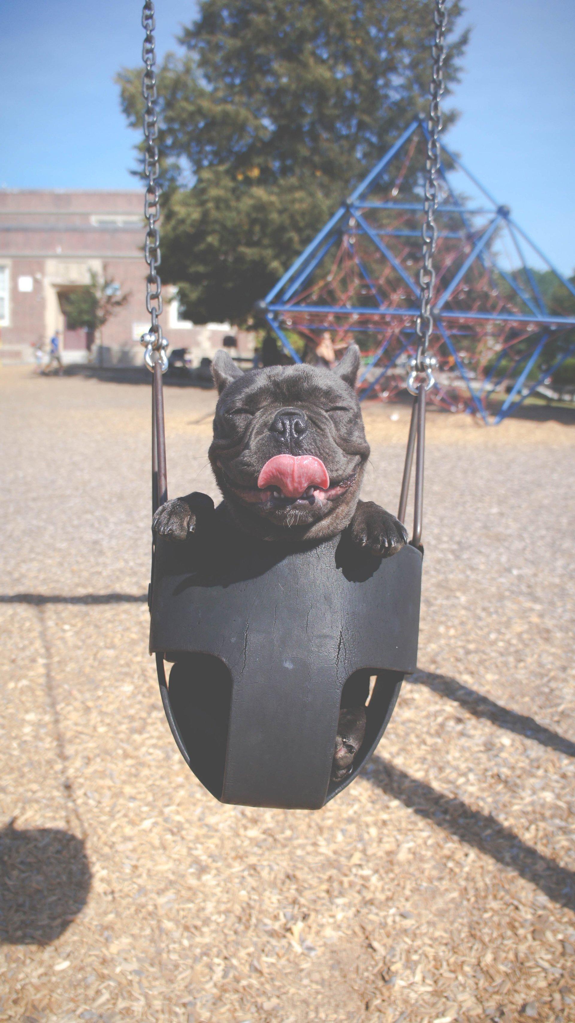 Puggerino in a Swing