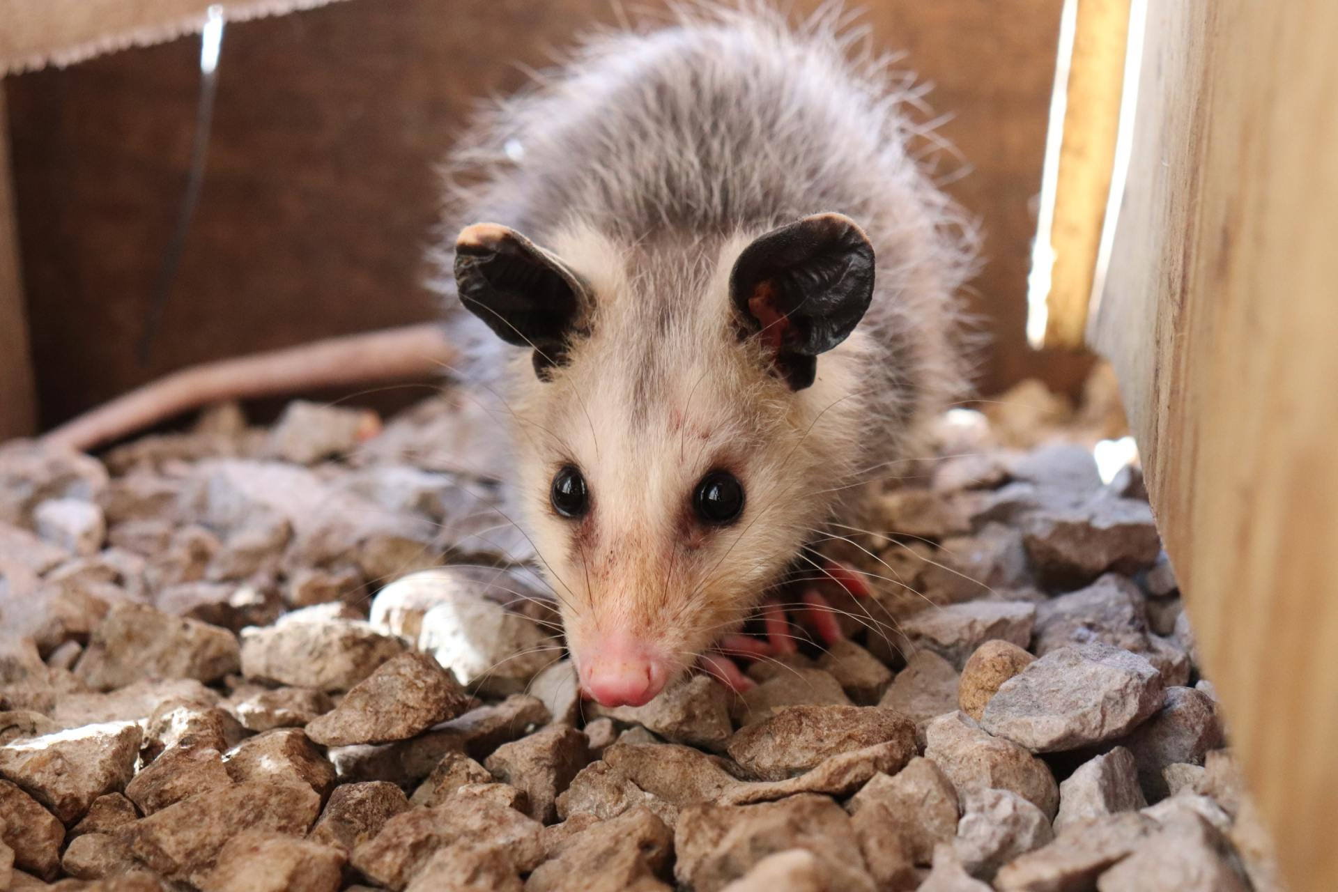 Possums, the Good, the Bad, & How to Get Rid of Them