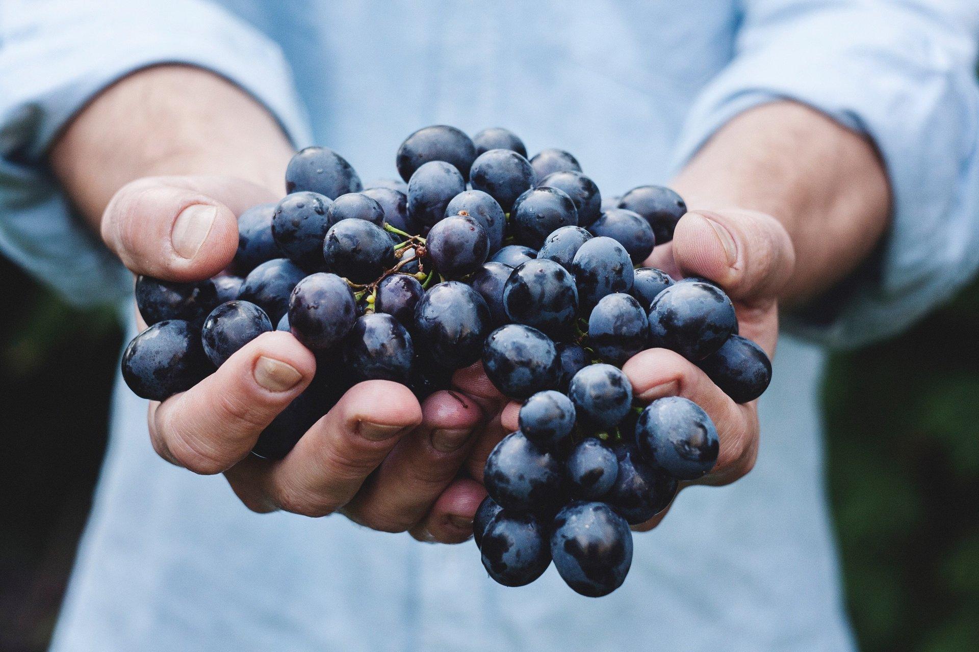 mani che reggono grappoli d'uva